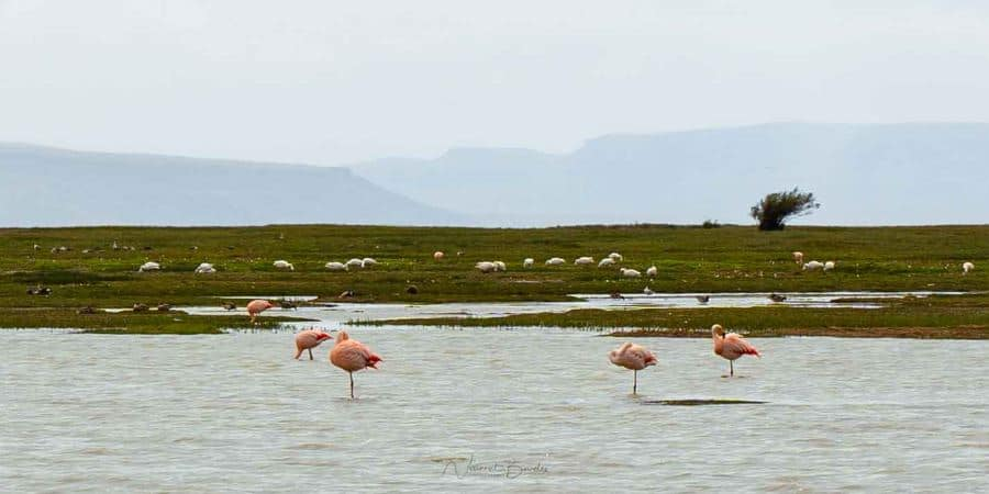 flamands roses laguna nimez el calafate patagonie argentine blog vincent voyage