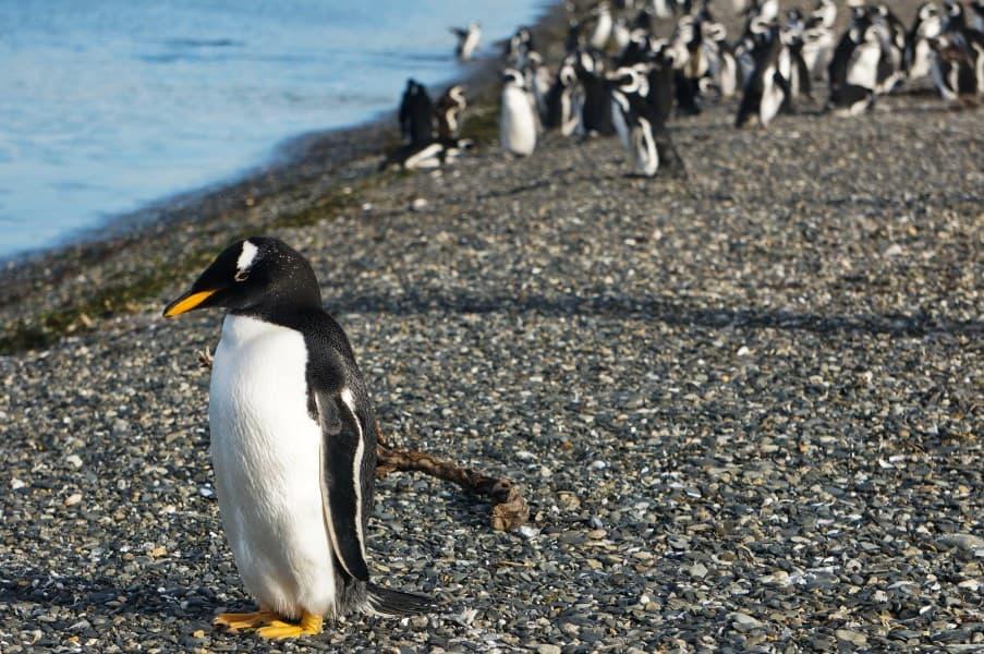 pingouins ushuaia