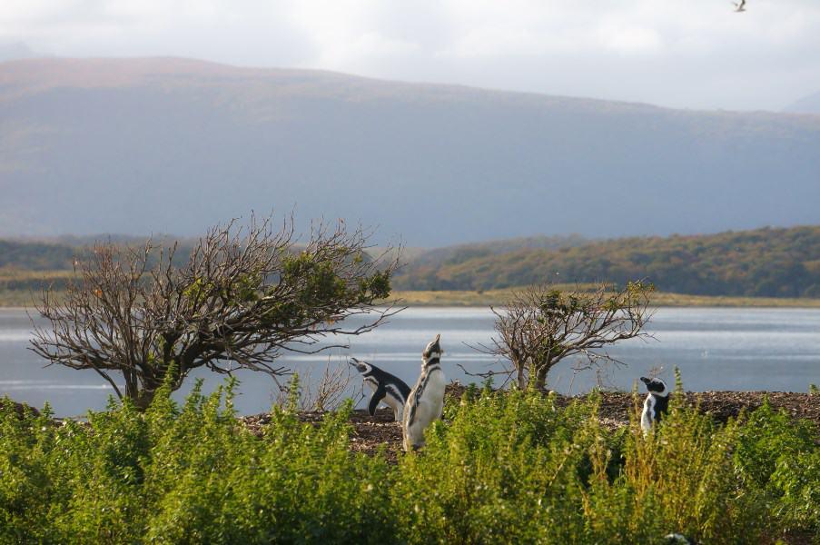 manchots ushuaia terre de feu Argentine Patagonie | Blog Vincent Voyage