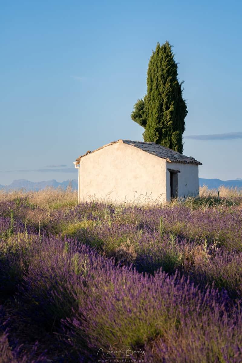 Cabane cyprès valensole lavande