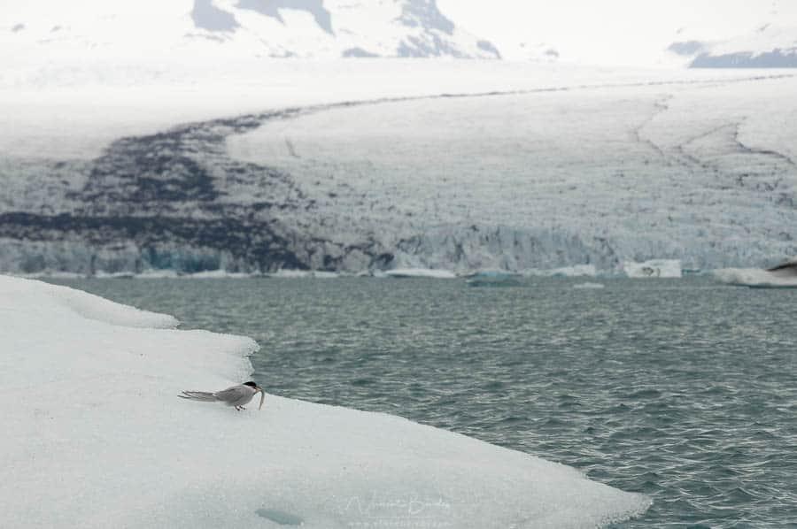 oiseau sur le glacier Jokulsarlon en islande