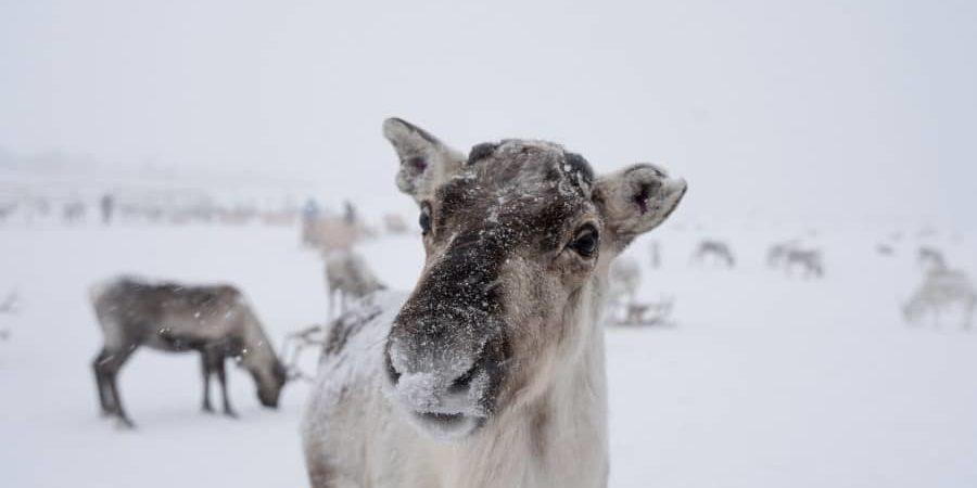 où voir les rennes à Tromso Norvège blog voyage