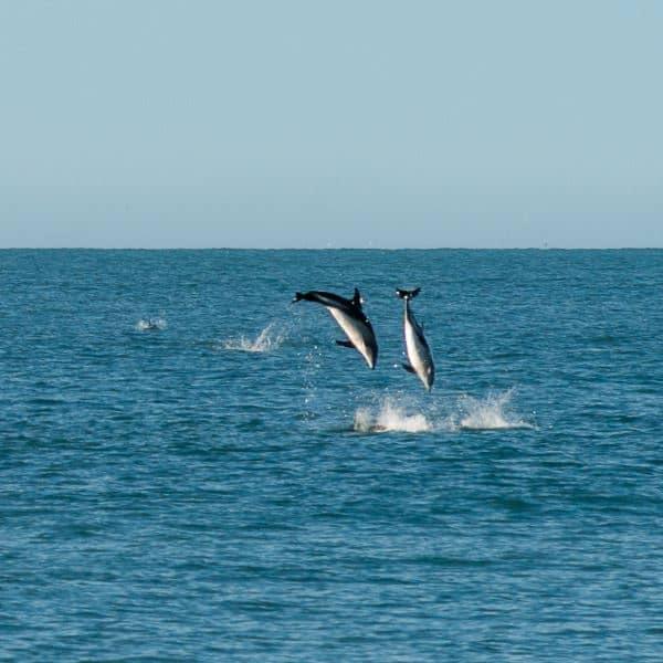 dauphins kaikoura nouvelle zélande | Blog Vincent Voyage