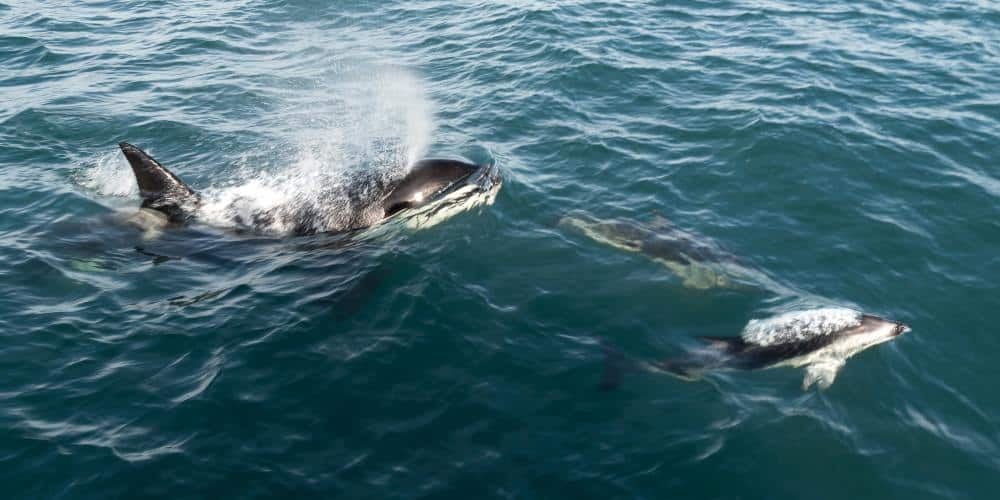 kaikoura dauphins orques nouvelle zélande