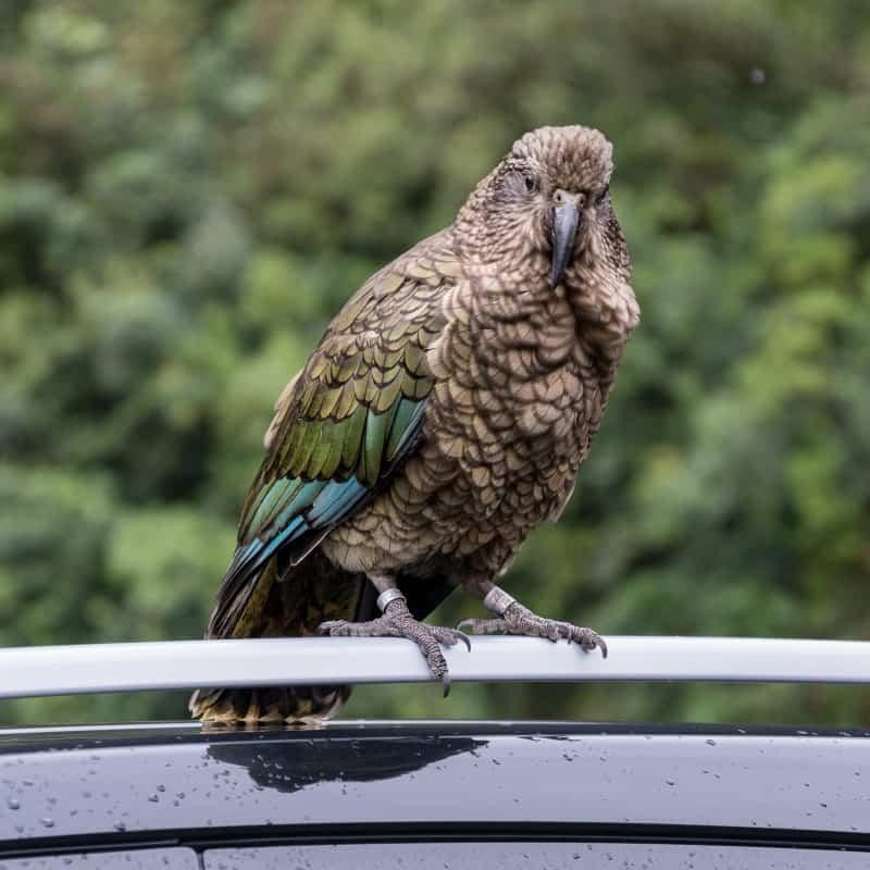 Keas nouvelle Zélande