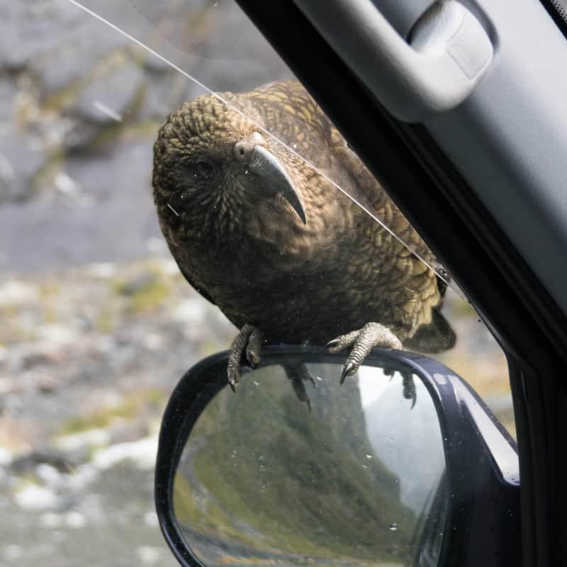 Perroquets Keas Nouvelle Zélande
