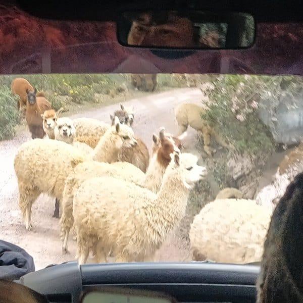 Montagne colorée Palcoyo au Pérou lamas à Cuzco | Blog Vincent Voyage
